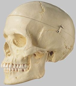 女性の頭蓋骨分解模型(3分解) QS7/6 ソムソ SOMSO