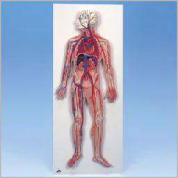 血管系、1/2倍大モデル G30 3B