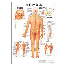 人体チャート 末梢神経系 ポスターサイズ・パネル入 70×51cm 医道の日本社