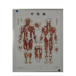 骨格筋 パネル入 86×62cm 医道の日本社