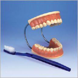 歯磨き指導用3倍大モデル D16 3B