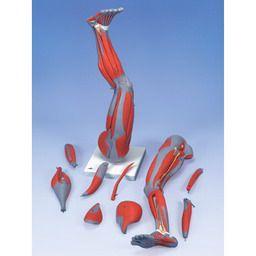 下肢の筋肉、9分解モデル M20 3B