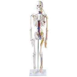 全身骨格模型 1/2サイズ 主要動脈・静脈・神経根付 IK22 トワテック