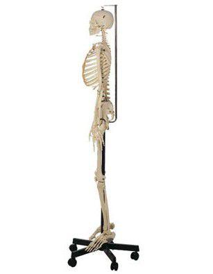 等身大骨格模型(男性、吊下式) QS10/12 ソムソ SOMSO