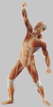 男性筋肉模型 AS3 ソムソ SOMSO