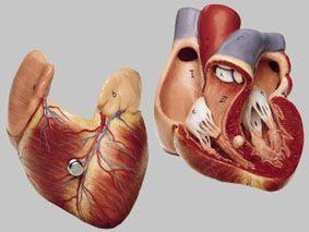 心臓模型 HS3 ソムソ SOMSO