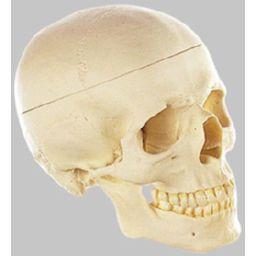 頭蓋骨分解模型(3分解) QS7/E ソムソ SOMSO