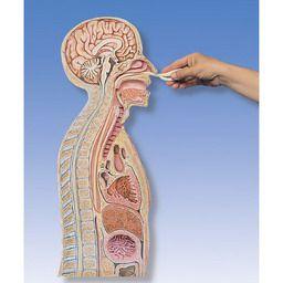 経管栄養法モデル W43020 3B
