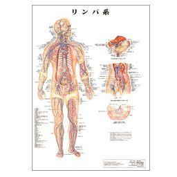 人体チャート リンパ系 ポスターサイズ・パネル入 86×62cm 医道の日本社