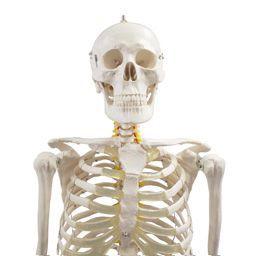 全身骨格模型 等身大 ハロウィン トワテック