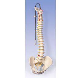 脊柱可動型モデル、標準型 A58/1 3B