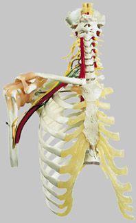 頸椎と靭帯付肩関節模型 QS65/5 ソムソ SOMSO