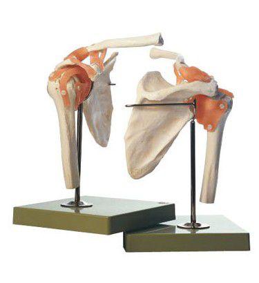肩関節機能模型 NS53 ソムソ SOMSO