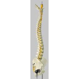 脊椎骨盤模型 QS21/2SC ソムソ SOMSO