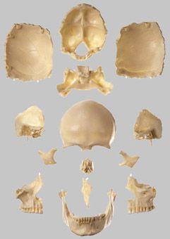 頭蓋骨分解模型(14分解、無地) QS8/2 ソムソ SOMSO