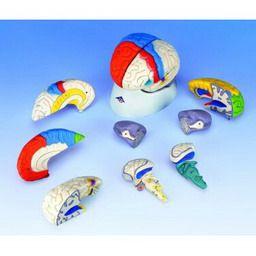 脳、8分解神経学モデル C22 3B