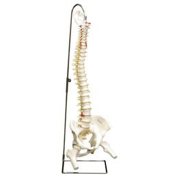 脊柱可動型モデル、大腿骨付 A58/2 3B