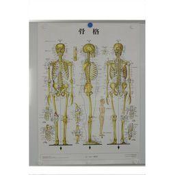 骨格 パネル入 86×62cm 医道の日本社