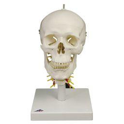 頭蓋 頚椎付き 4分解モデル A20/1 3B