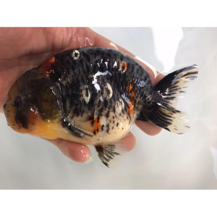 【新品種】麒麟らんちゅう 約13~14cm