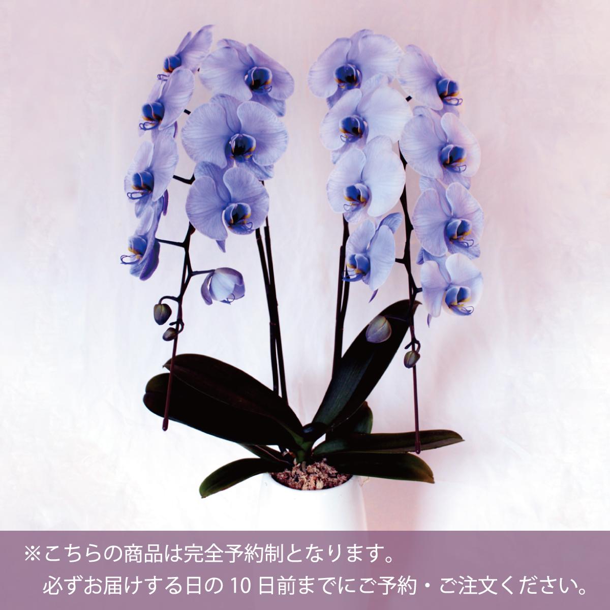 胡蝶蘭2本立(紫21~29輪)