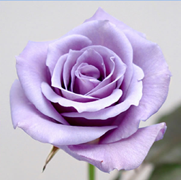 """三得利藍玫瑰 '-掌聲-"""""""