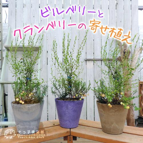 激安挑戦中 健康果樹の鉢植えベリー 家庭果樹 観賞用として楽しめます アートストーン22cm鉢植え ビルベリーとクランベリーの寄せ植え 1年保証