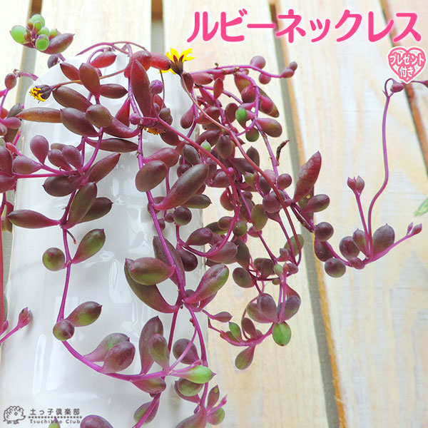 ルビー色のぷっくらとした葉がネックレスのように! 多肉植物 『 ルビーネックレス 』 7.5cmポット苗 ( 鉢と受け皿プレゼント )