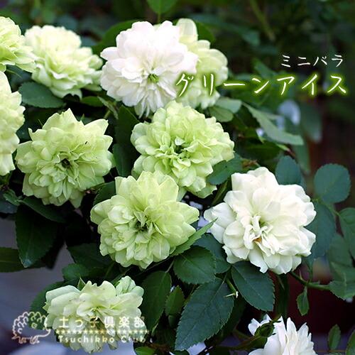 花色が変わる 爆買い新作 四季咲きミニバラ ミニバラ グリーンアイス 四季咲き メーカー再生品 2個セット 9cmポット苗