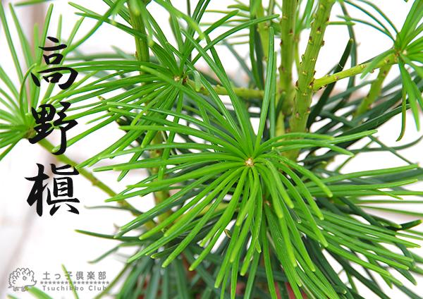 Koyamaki (sciadopitys) 切割四年苗 (vi) 狭缝锅 05P03Dec16