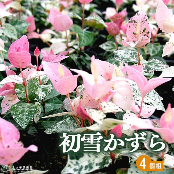 新作 人気 鉢植え 庭植え 観賞用に最適です 白やピンクの葉色が可愛い グランドカバーにも 4個セット 9cmポット苗 初雪かずら チープ ハツユキカズラ
