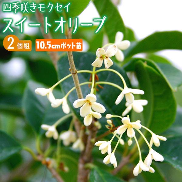 鉢植え 庭植え 観賞用に最適です いつでも咲いて ファクトリーアウトレット いつでもよい香り 四季咲きモクセイ スイートオリーブ 2個セット 格安 価格でご提供いたします 10.5cmポット苗