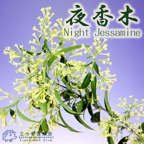 ナイトジャスミン (夜香木、夜香花) 12cmポット苗