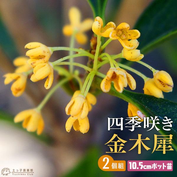 5%OFF 優しい香りの金木犀 四季咲き性でベランダガーデンにも最適 高い素材 四季咲き金木犀 10.5cmポット苗 2個セット キンモクセイ