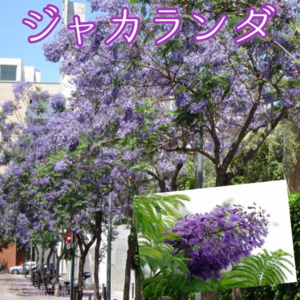 スーパーSALE 150時間限定 代引き不可 世界三大花木 のひとつ 世界中で愛される青いサクラ ジャカランダ 9cmポット苗 オンラインショッピング 半額商品
