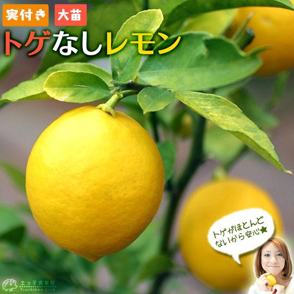 トゲがないから 扱いやすい人気品種です 植木苗木の日本三大名産地 福岡県田主丸産 《 実付き 》 日本最大級の品揃え 8号鉢植え ※実付き1個なり レモンの木 正規逆輸入品 トゲなしレモン 送料無料 接ぎ木 大苗
