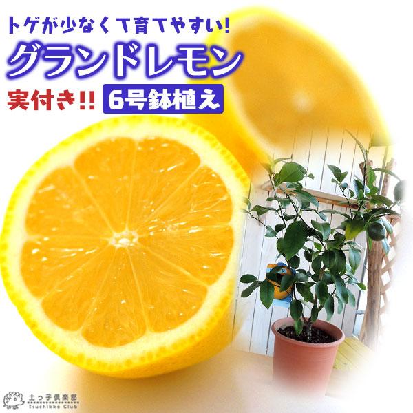 実付きよく鉢植えOK 丸っと大きく美味しいレモンを育てよう 《 実付き 》 接ぎ木苗 6号鉢植え グランドレモン ※1個なり アウトレットセール 特集 おしゃれ レモンの木