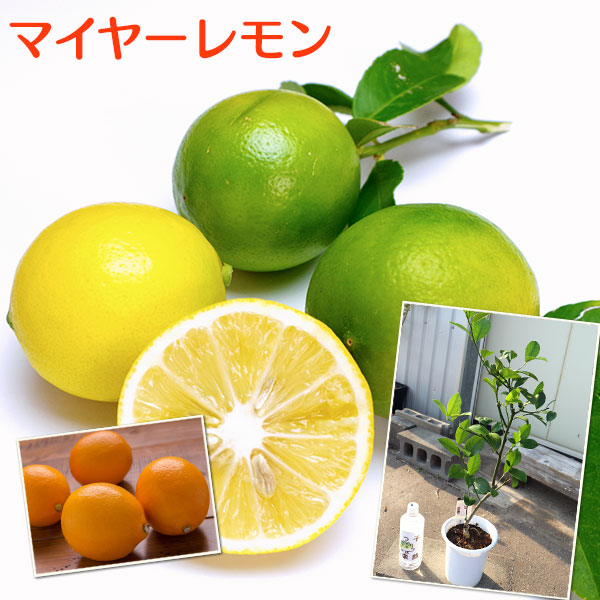 酸味がまろやかでフルーティー 絶品 皮ごと使える丸いレモン レモンの木 5号鉢植え ※実付き販売の苗木ではありません 激安挑戦中 マイヤーレモン