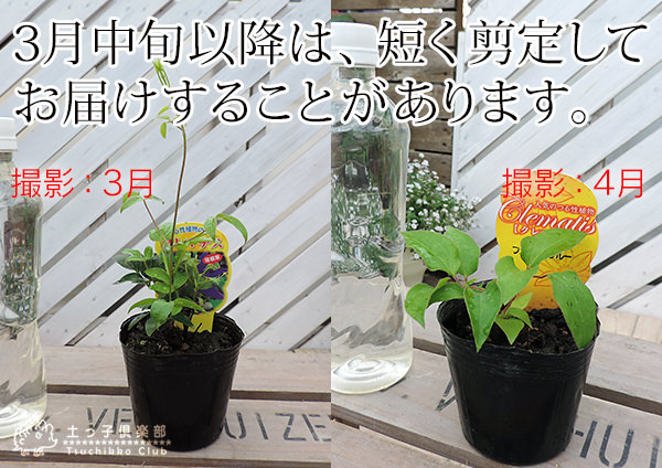 "kuremachisu""小東西藍色""patensu派(早開花大輪派)9cm暖水瓶苗"