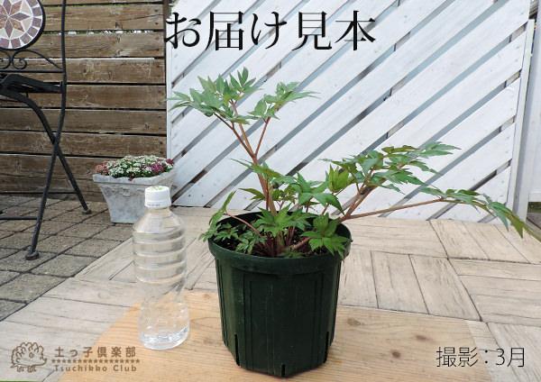"""日本山胡萝卜""""hyugatouki""""(日向当帰)6号狭缝盆栽"""