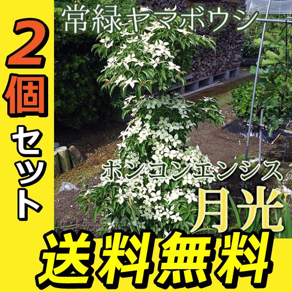 源平 (ゲンペイ) 苗木 ヤマボウシ 0.9〜1m (山法師)