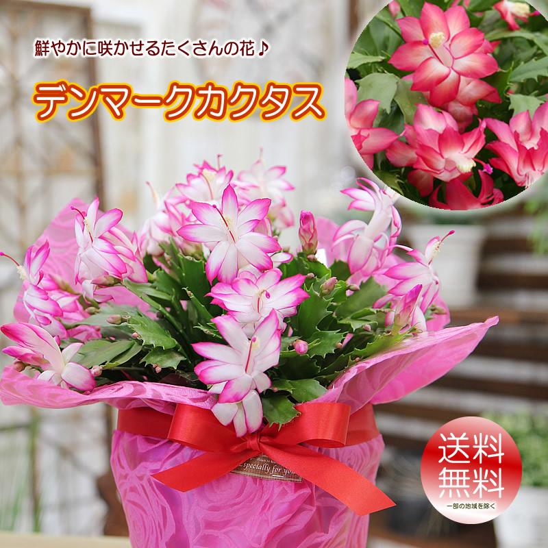 別倉庫からの配送 花 ギフト プレゼント 送料無料 新作送料無料 鮮やかに咲かせるたくさんの花 デンマークカクタス 鉢植え シャコバサボテン 鉢花