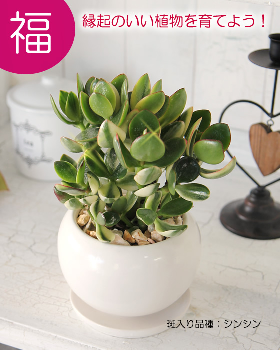 Wedding Gifts Next Day Delivery: Tsukaguchi: Support Cactus Plants Modern Interior Asian