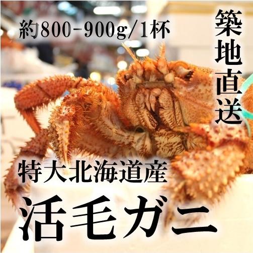 特大活毛ガニ 最高級品 北海道産 約800-900g(1杯)[豊洲直送]贈答 グルメ 鮮魚 毛蟹【活毛ガニ800-900g】 冷蔵