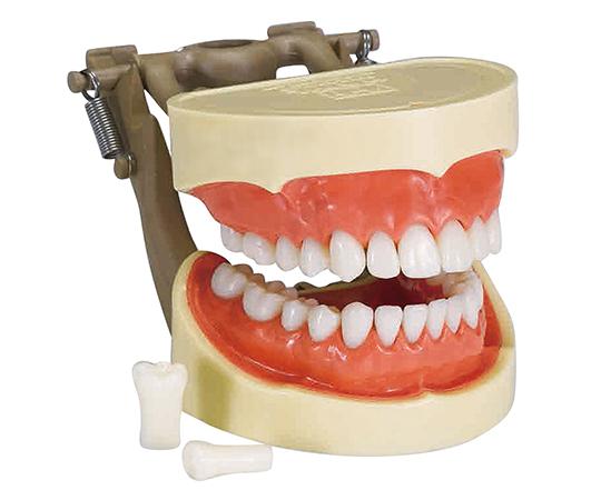 いまだけ!★ポイント最大15倍★【全国配送可】-歯牙模型 ハードタイプ マイクロテック 型番1159  JAN4582389543454 aso 7-3818-02 -【医療・研究機器】