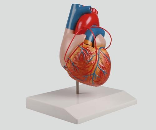 いまだけ!★ポイント最大16倍★【全国配送可】-バイパス付心臓2分解モデル 80×80×140 ナビス 型番G205  JAN4250395300919 aso 8-8316-01 -【医療・研究機器】