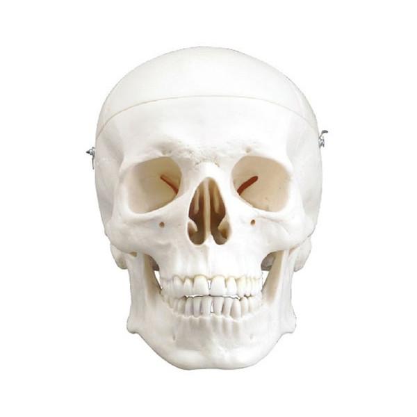 ★ポイント最大15倍★【全国配送可】-頭蓋骨模型 標準型3分解モデル / 14403 アシスト 1ケ JAN4995256144034 kt328604 取寄品(課税)-【介護福祉用具】
