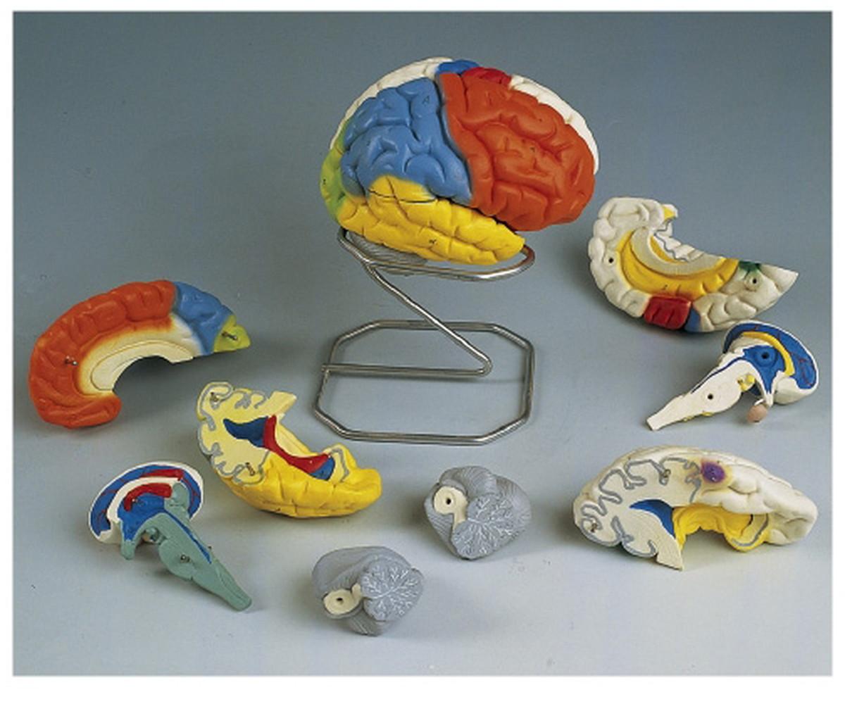【送料無料】-脳8分解神経学モデル C22 (14X14X17.5CM) 品番 my11-2091-00-- 1入り-【MY医科器機】