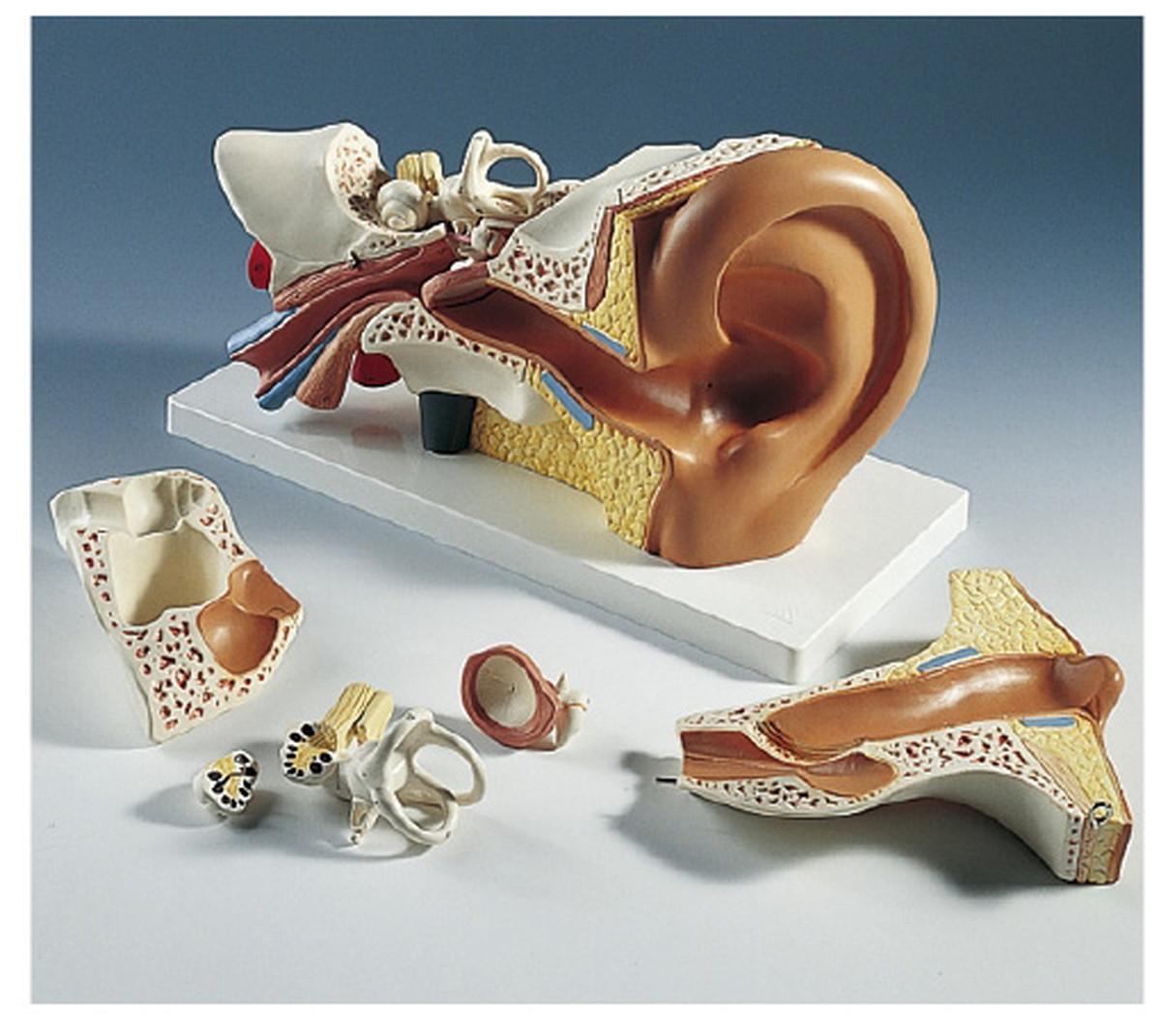 ★最大P24倍★ 1/9-1/16【送料無料】-平衡聴覚器モデル(標準型) E10 (34X16X19CM) 品番 my11-2120-00-- 1入り-【MY医科器機】