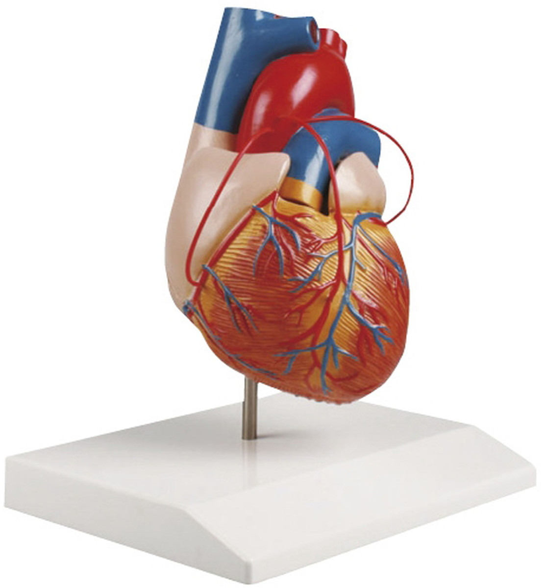 【送料無料】-心臓2分解モデル(バイパス付) G205 品番 my24-5096-00-- 1入り-【MY医科器機】JAN 4535847005155